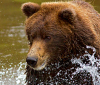 Brown bear observation tour